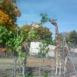 GiraffenAussen3-voyage-150x150