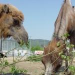 kamele-knie