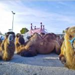 knie-kamele-2-150x150