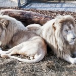 löwen-dieck-150x150