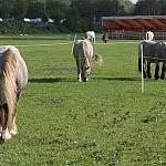 pferde4