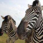 zebras3-150x150